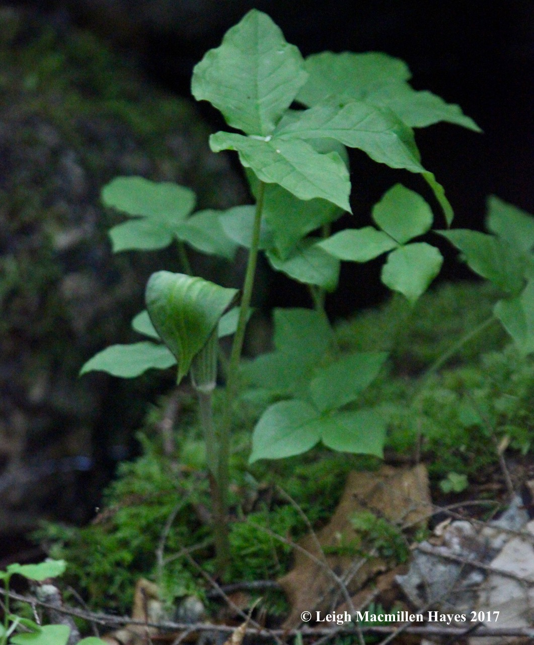r-jack in the pulpit 1