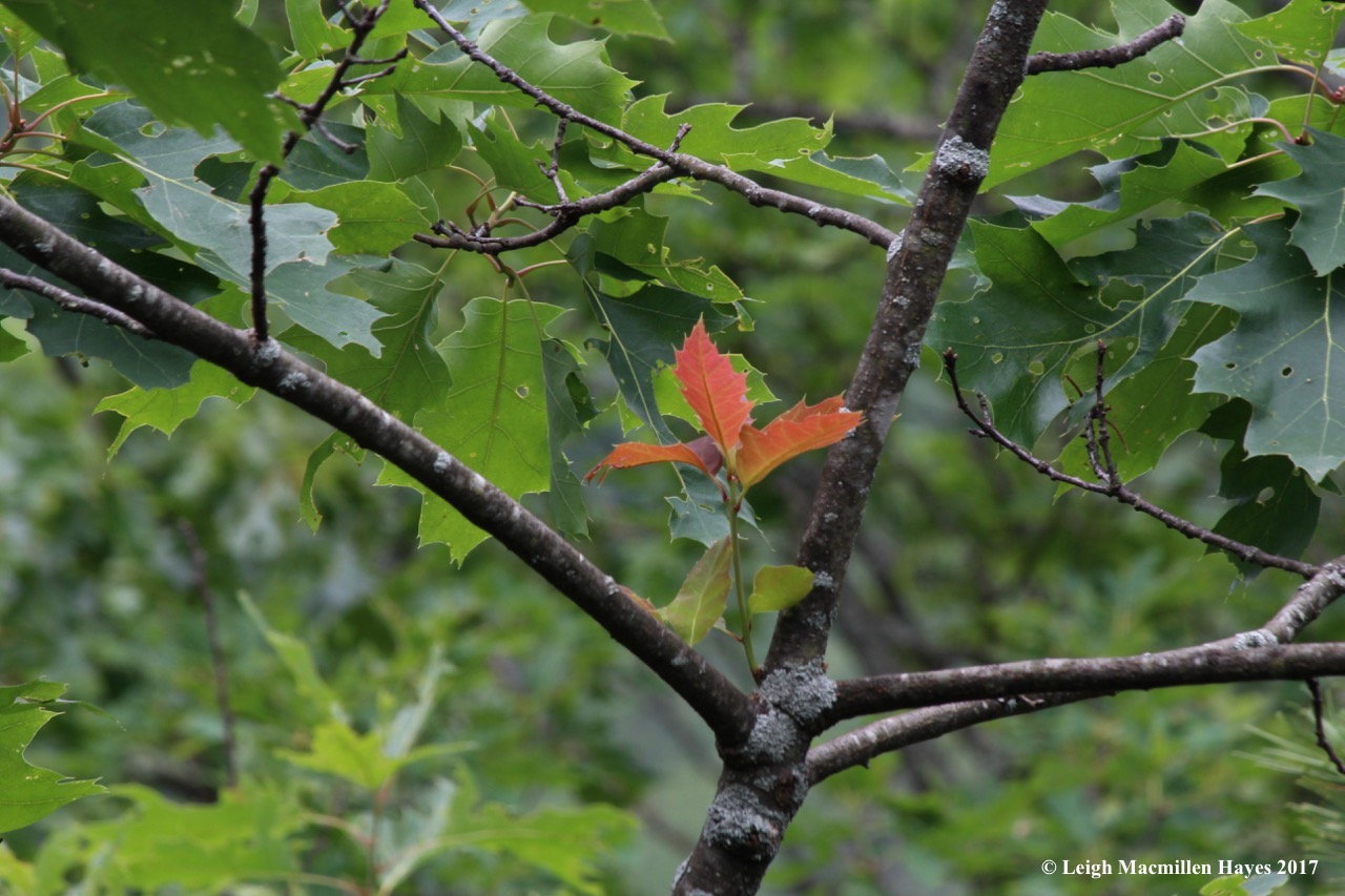 t-new oak leaves