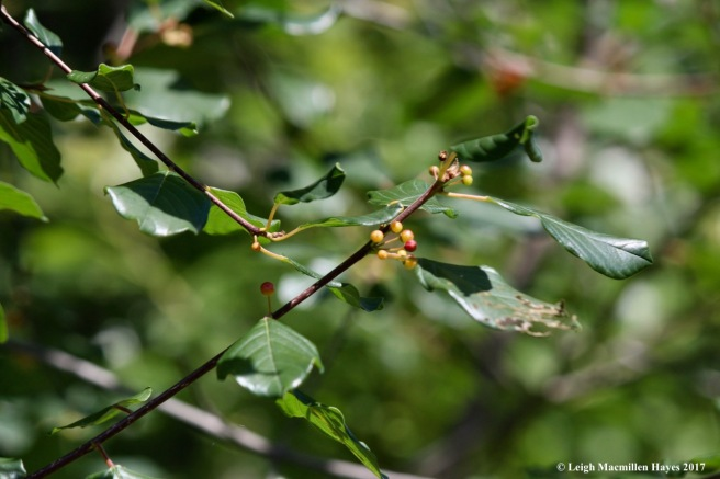 alder-leaf buckthorn2