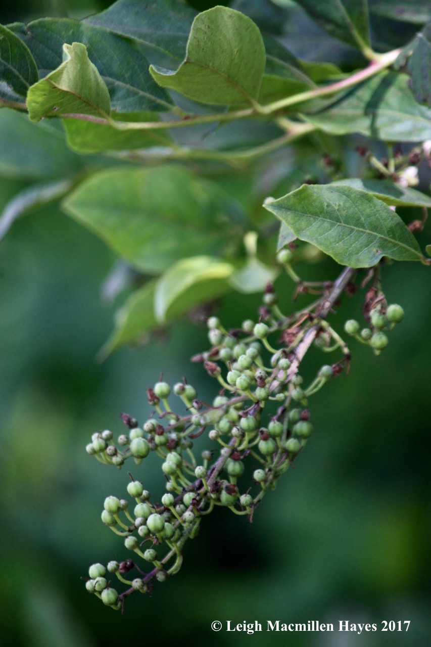 b-maleberry 1