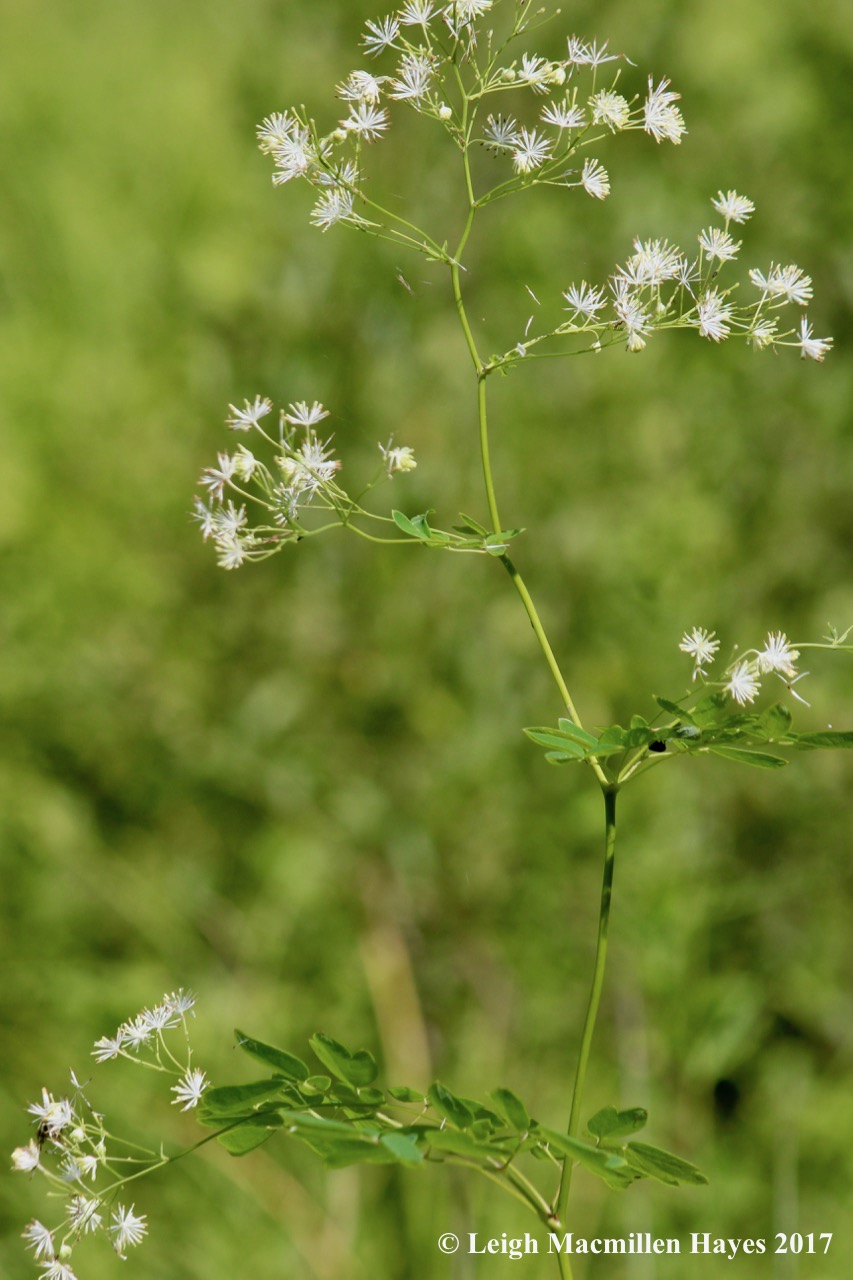 b-meadow rue