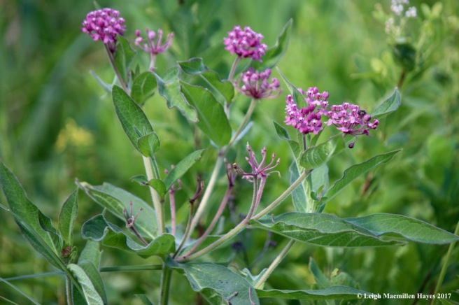 b-swamp milkweed 1