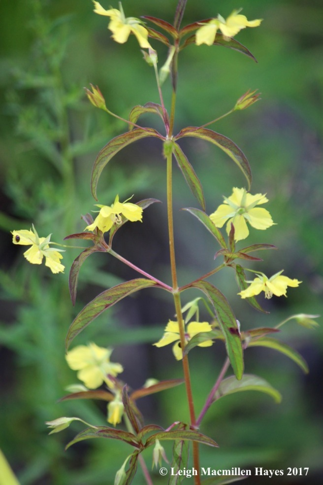 b-yellow loosestrife