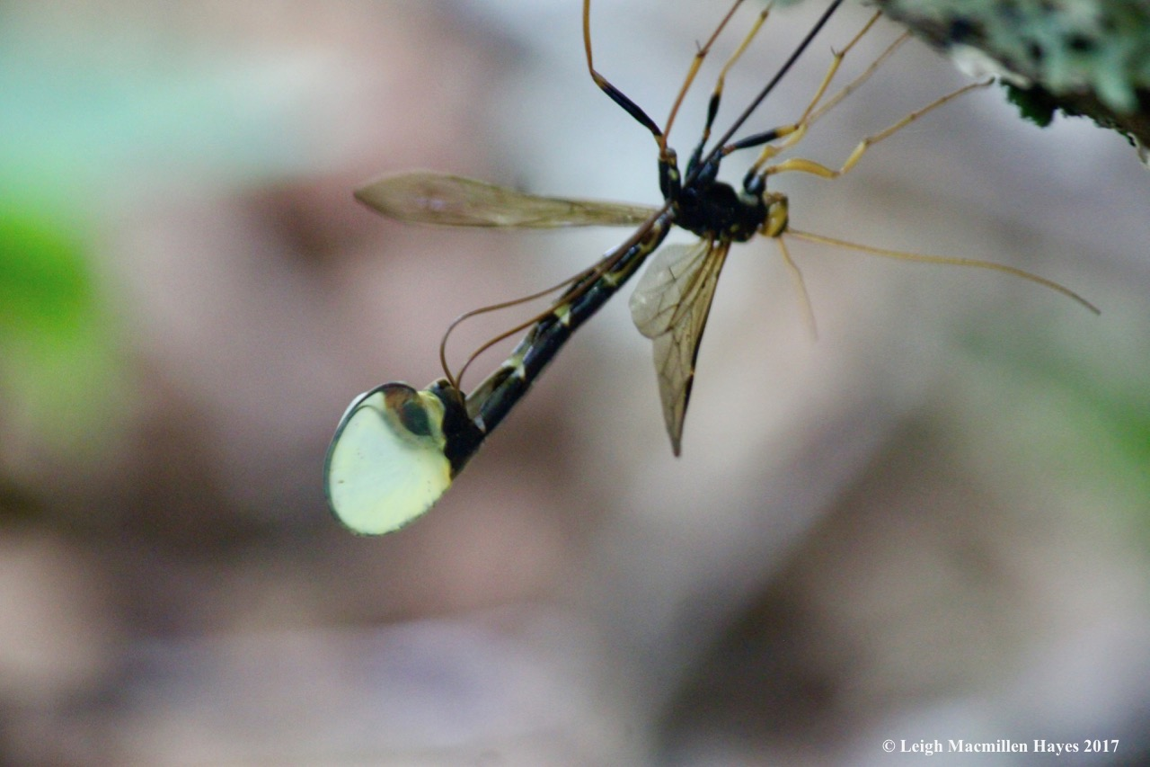 c-ichnueomon wasp female