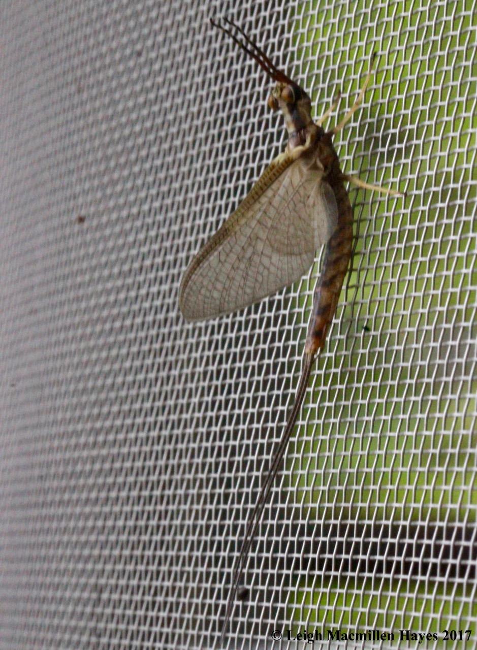 c-mayfly 1