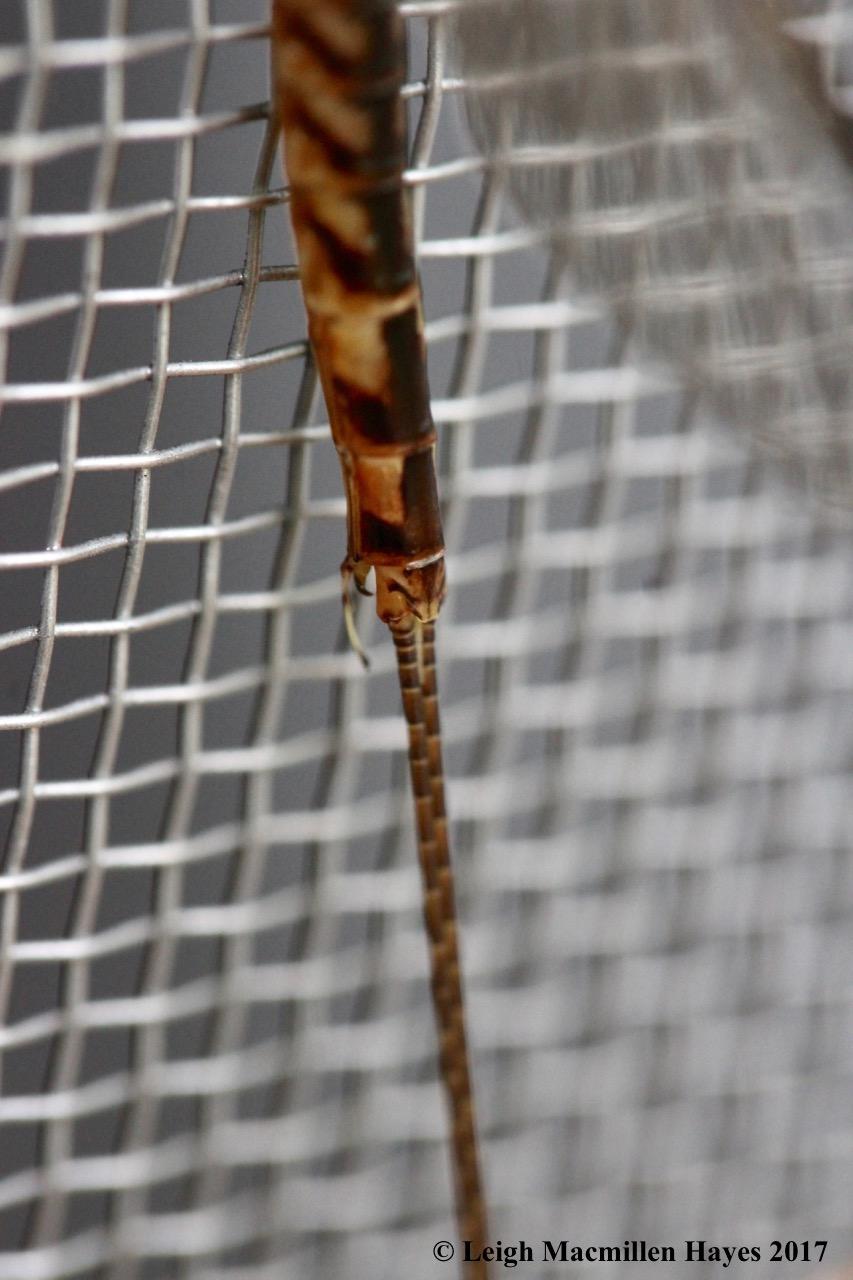 c-mayfly aedeagi at base of abdomen