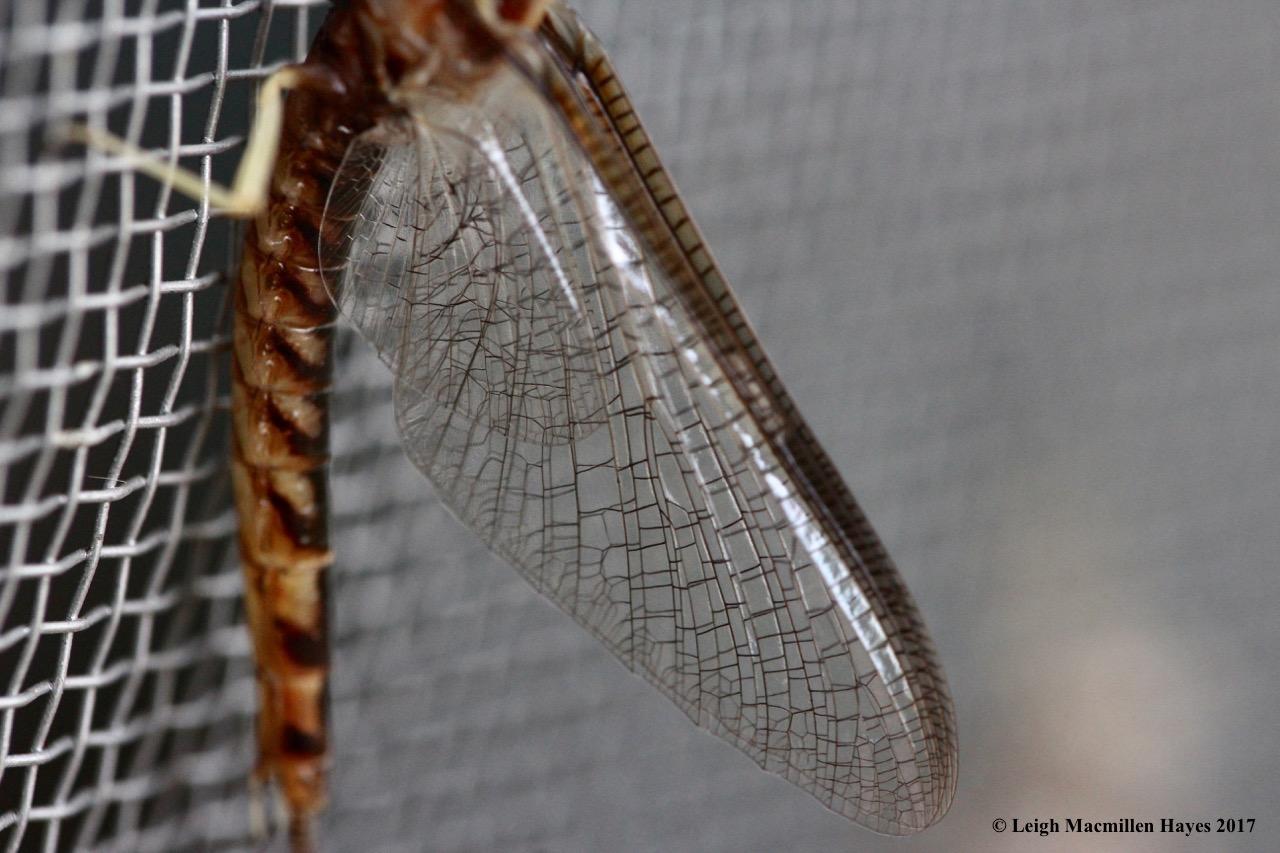 c-mayfly clear wings