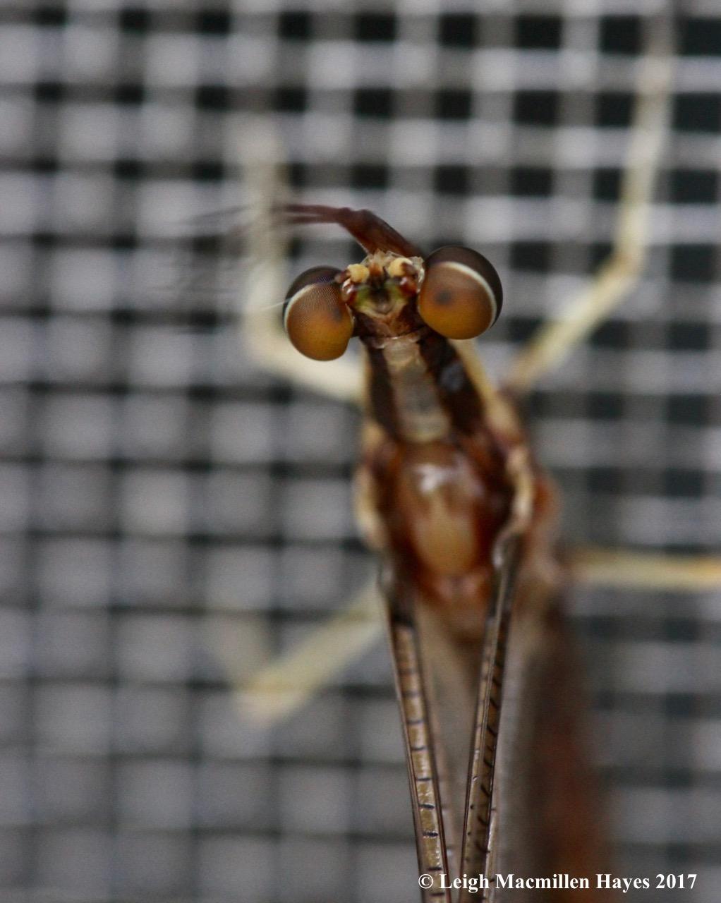 c-mayfly eyes 1