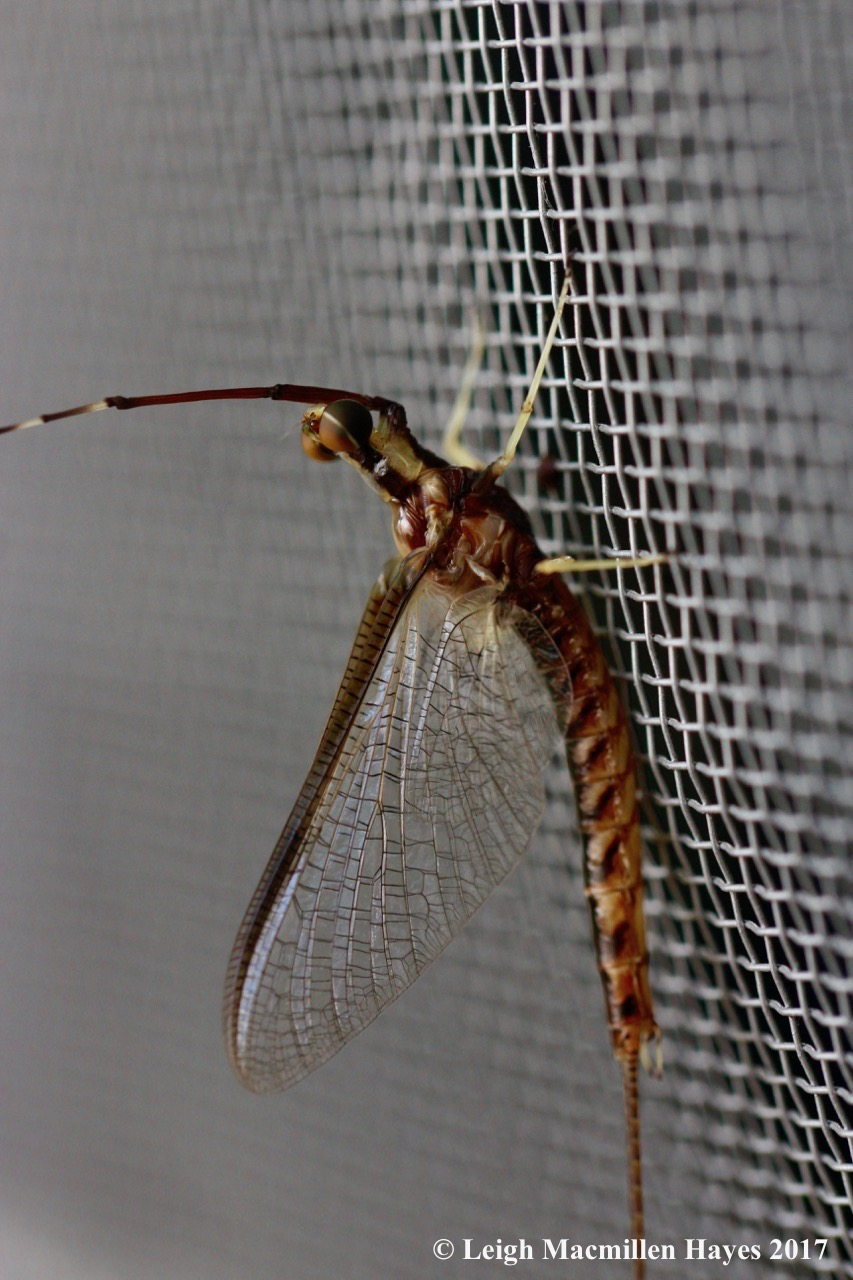 c-mayfly mature 1