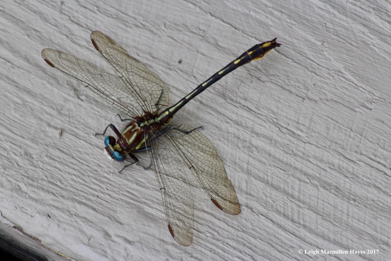 d-clubtail, lancet clubtail, male