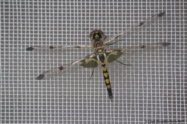 d-ending, female calico pennant on screen