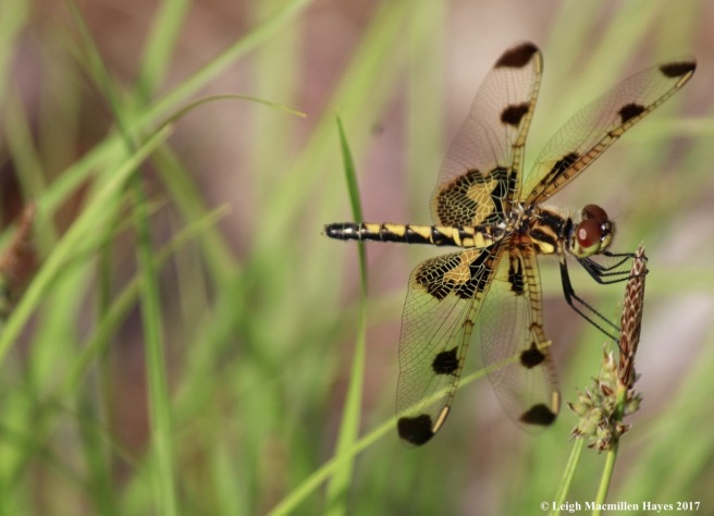 d-skimmer, calico pennant female
