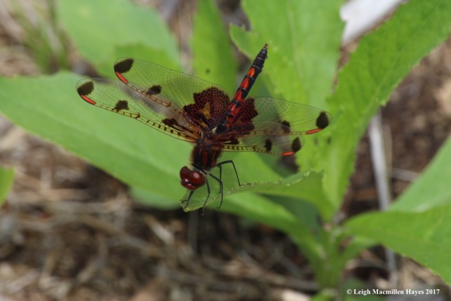 d-skimmer, calico pennant, male