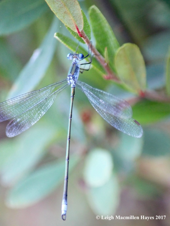 d-spreadwing, common spreadwing