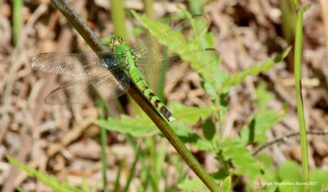 h-Eastern pondhawk female 1