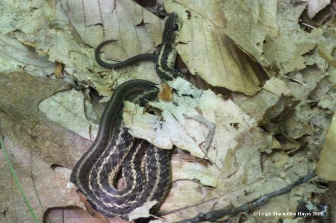 h-garter snake