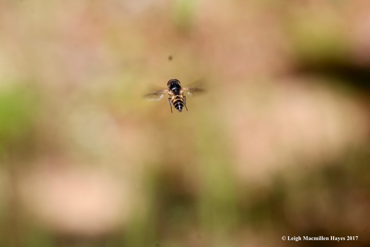 h-hoverfly1