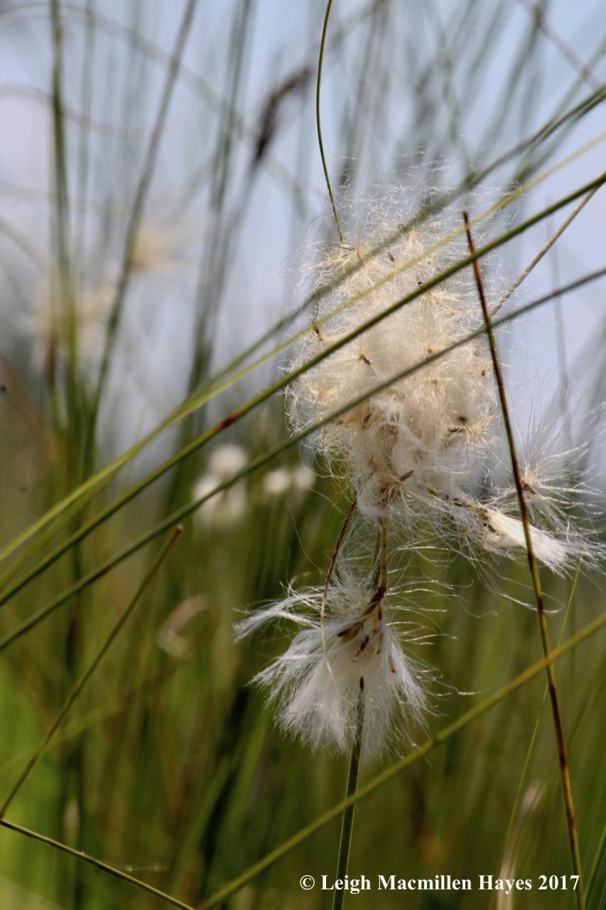 m-cotton grass 1