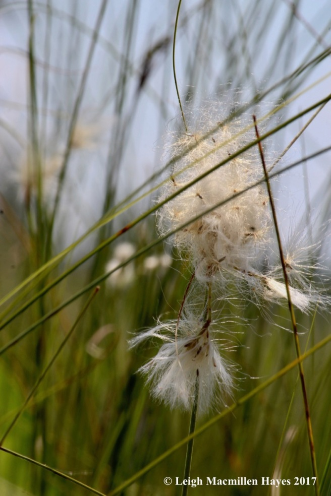 m-cotton grass 1