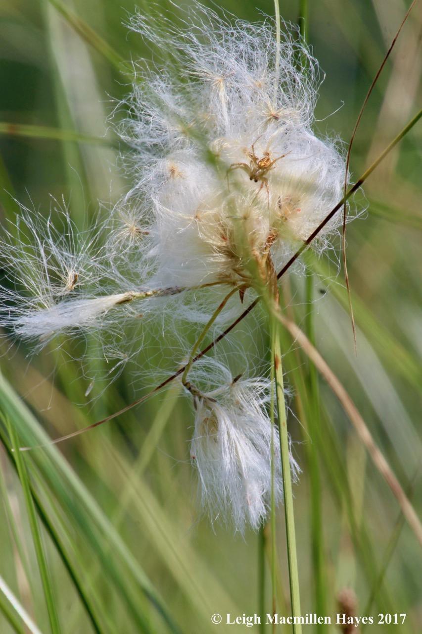 m-cotton grass with spider 2