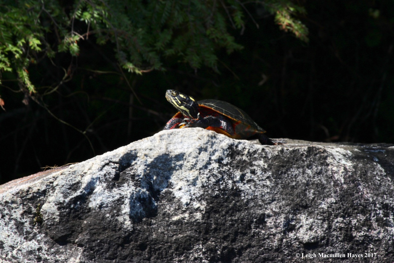 m-painted turtle