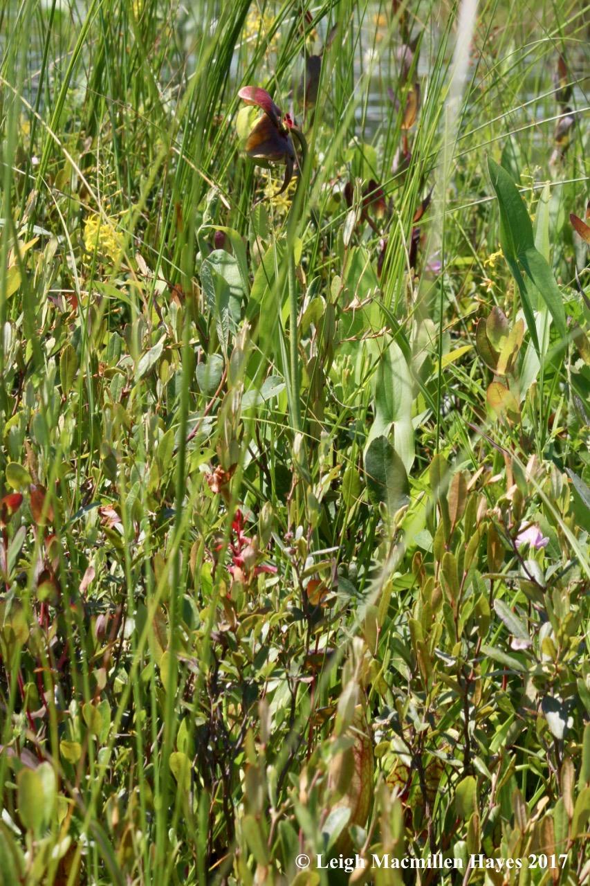 m-pitcher plant 1