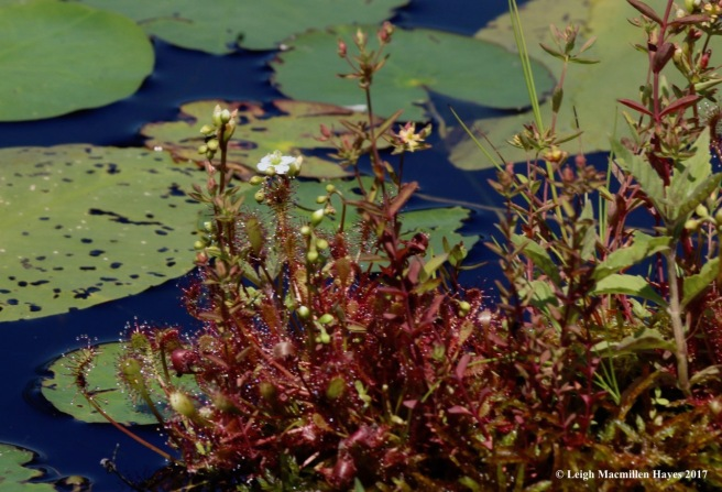 m-spatulate-leaved sundews with flower 2