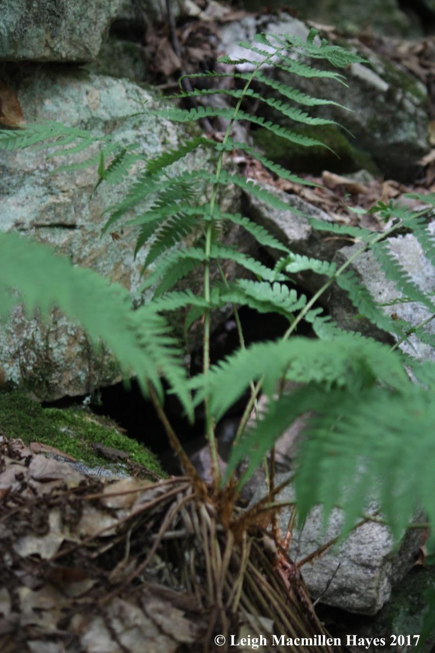 m1-marginal wood fern