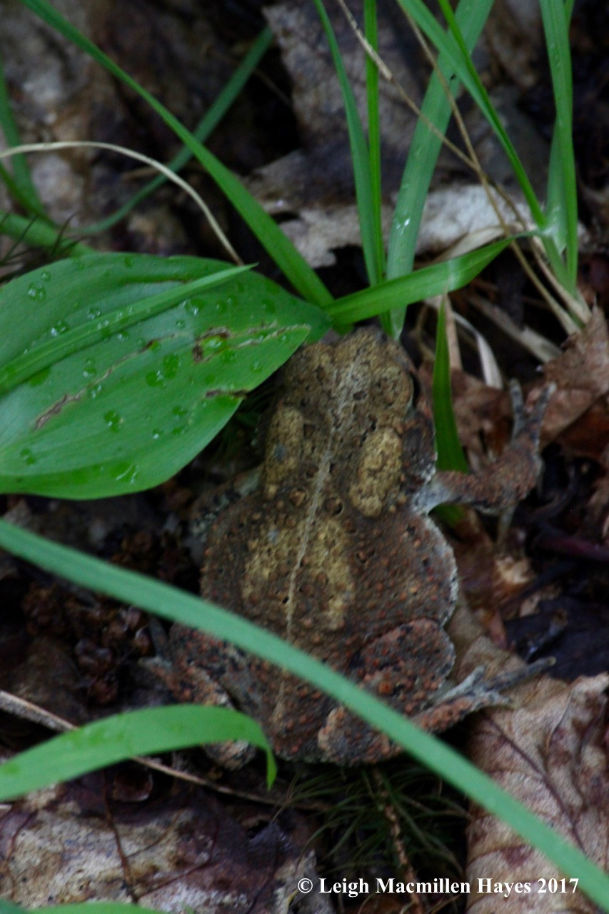p-American toad
