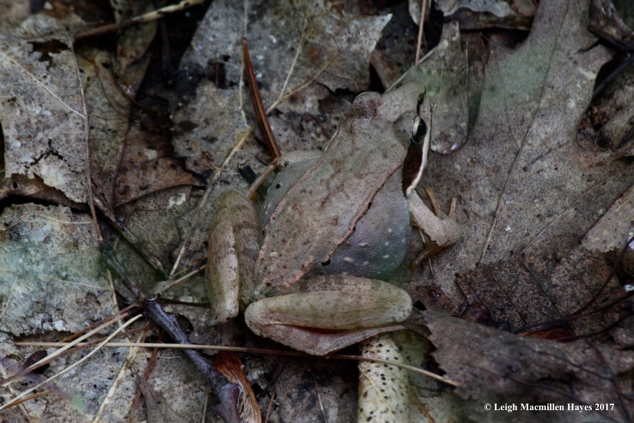 p-bloated female wood frog 2