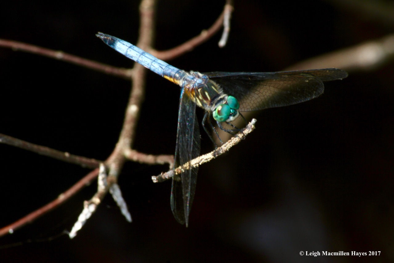 p-blue dasher 1