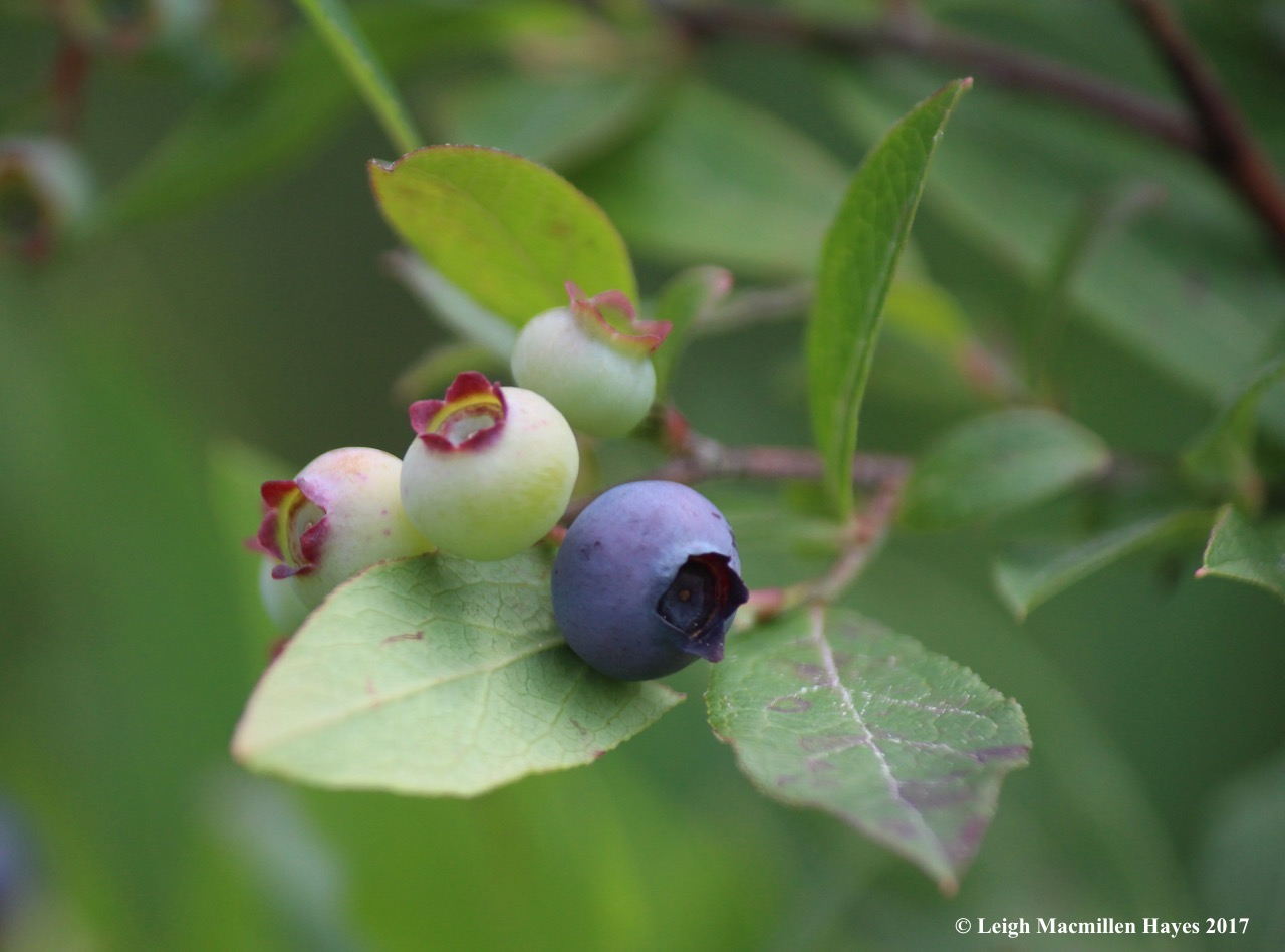 p-blueberries ripening