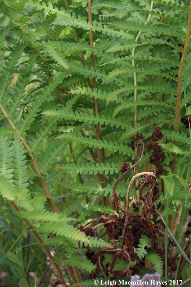 p-cinnamon fern