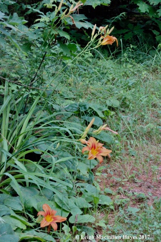 p-daylilies