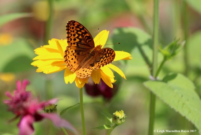p-fritillary on coreopsis