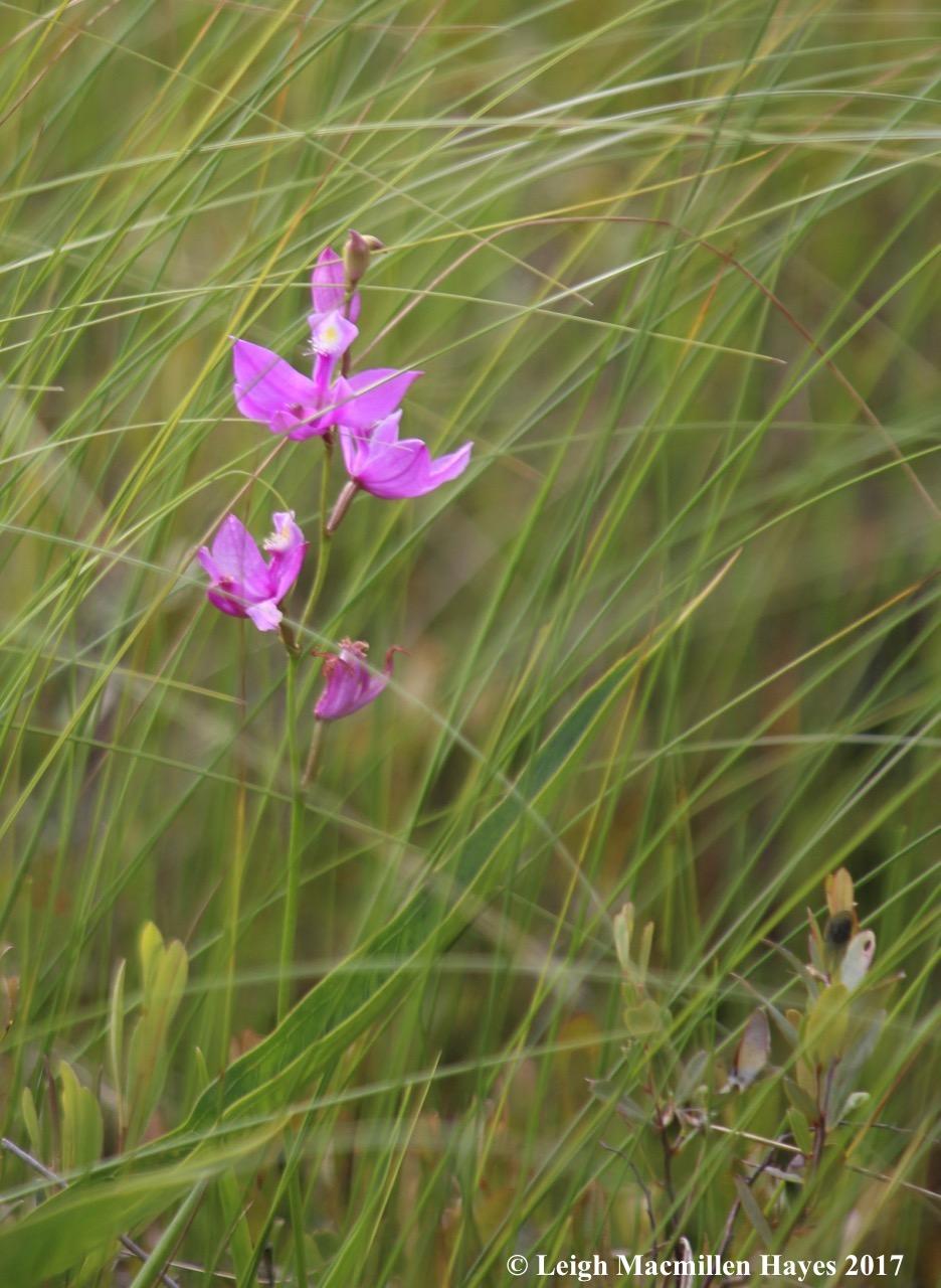 p-grass pink 1