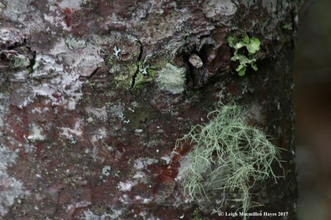 p-lichen tree