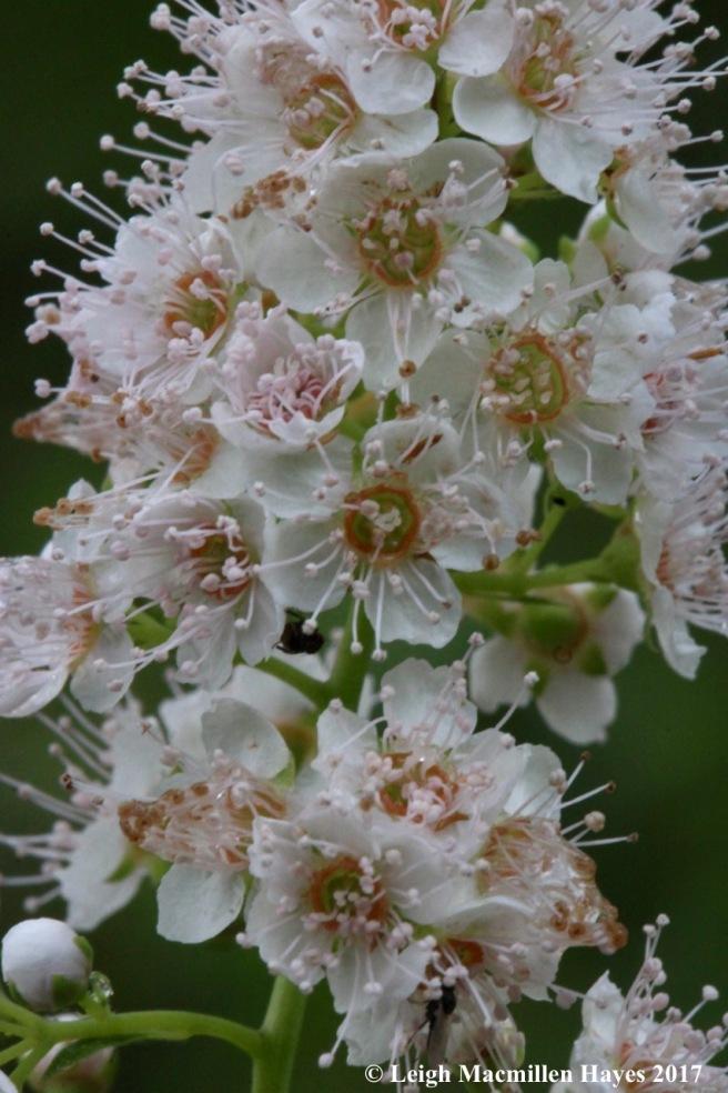 p-meadowsweet flowers