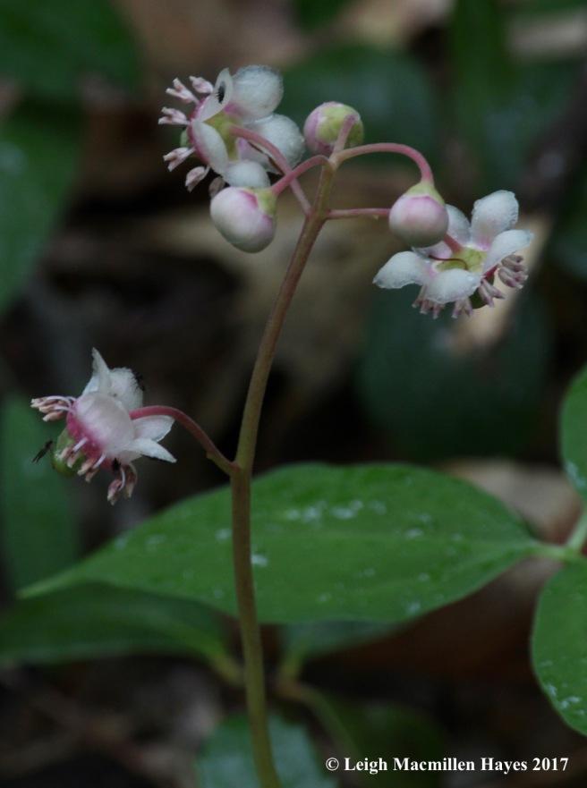 p-pipsissewa flowers 1
