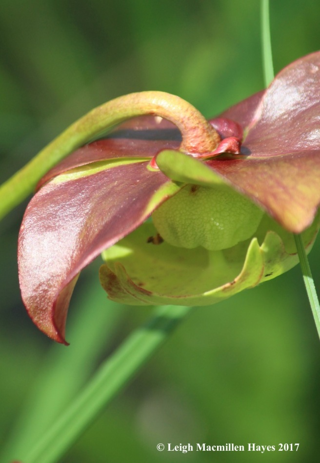 p-pitcher flower