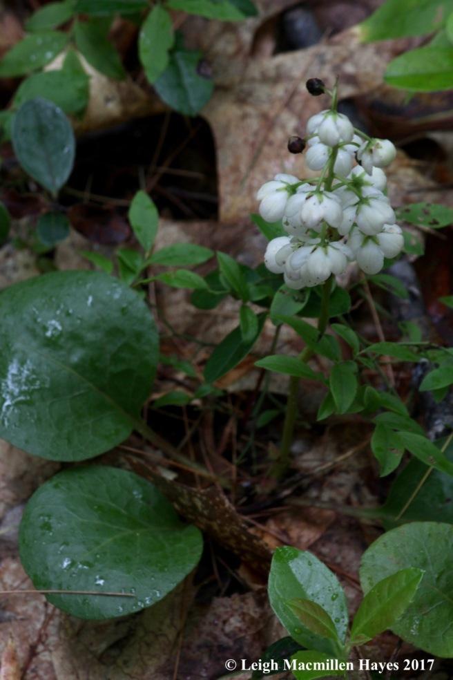 p-round-leaf pyrola1