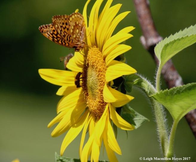 p-sunflower sweethearts