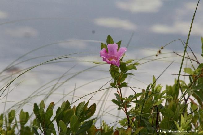p-swamp rose