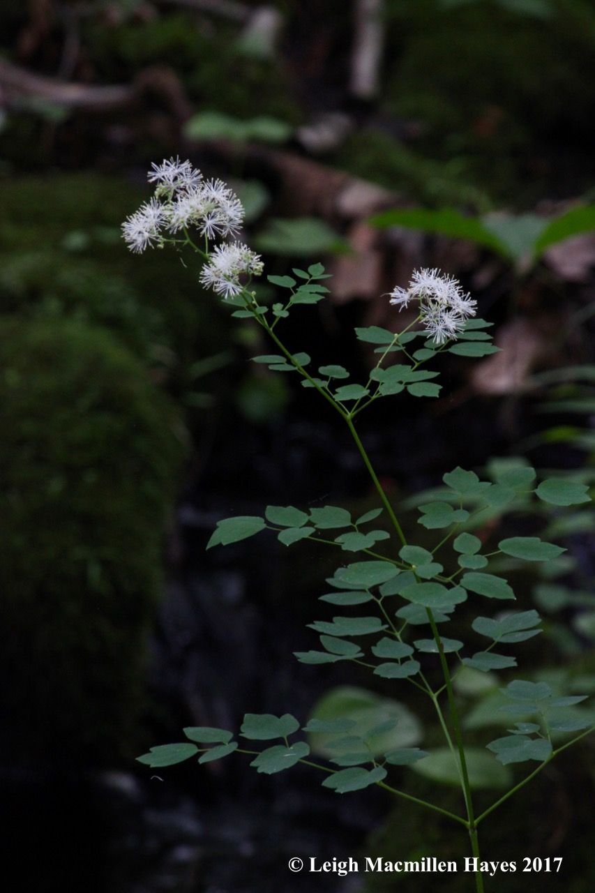 p-tall meadow rue