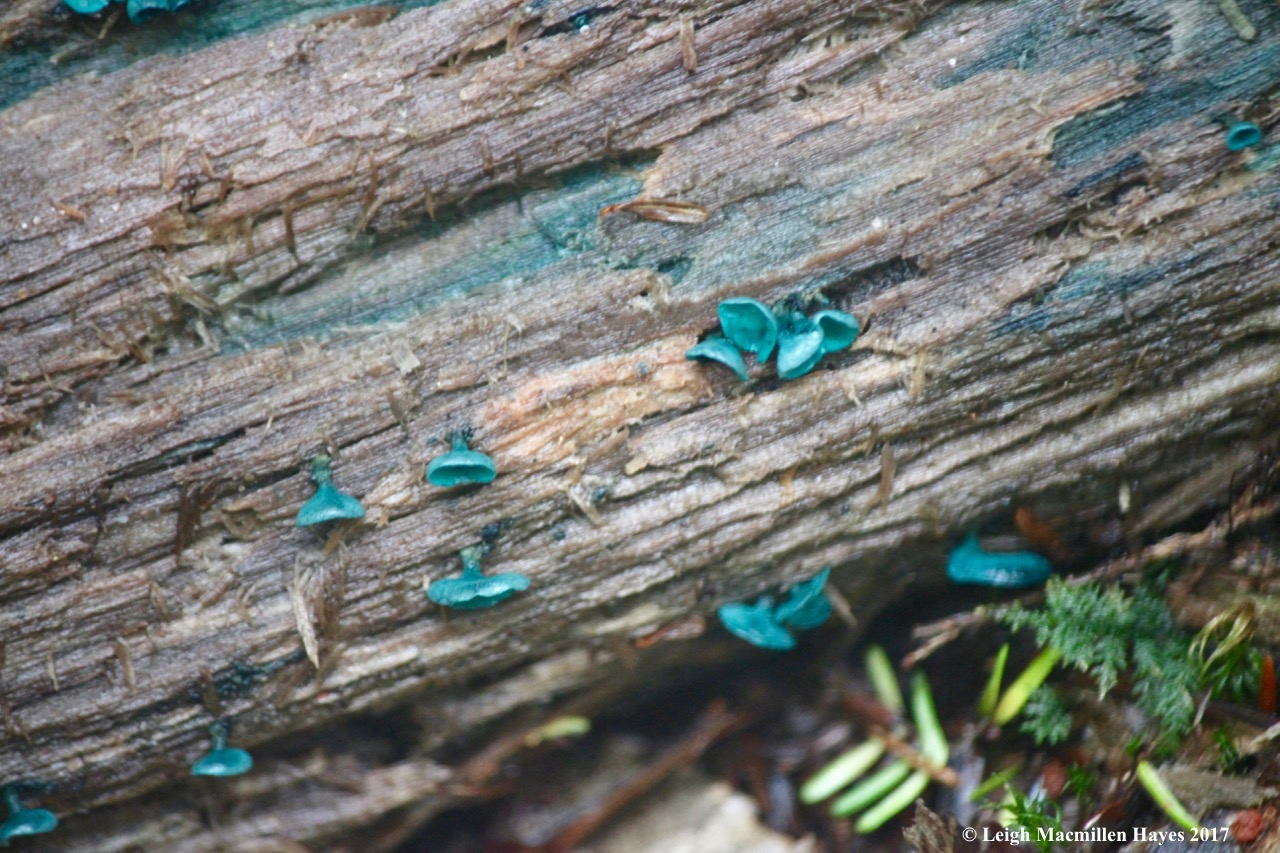 w-green stain fruiting