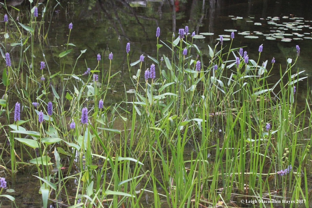 w-pickerel weed