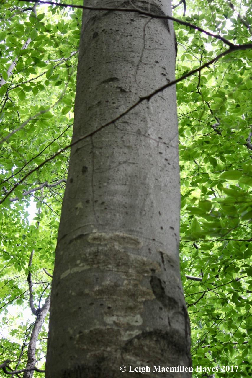 b-bear tree 1