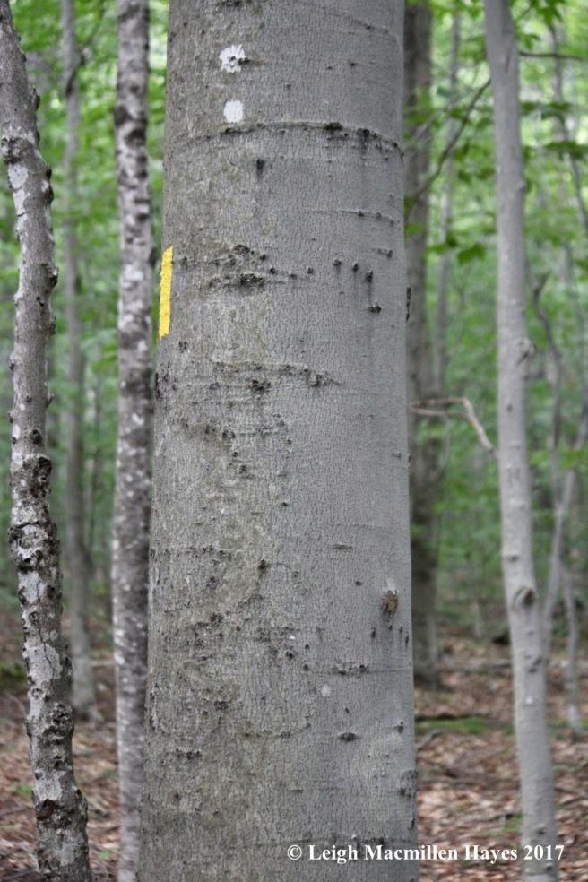 b-bear tree on way down