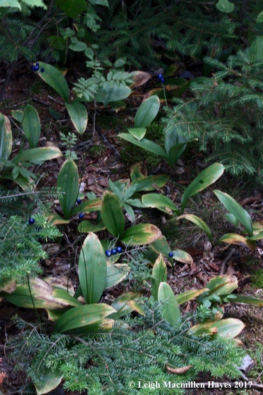 b-summit blue bead garden