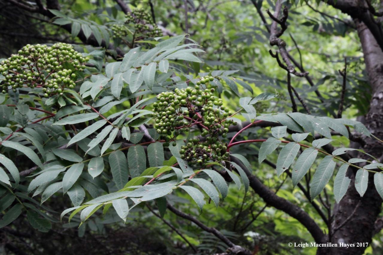 b-summit mountain ash berries